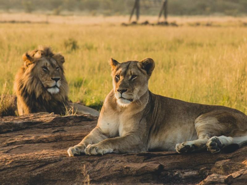 10 de agosto, día mundial del león