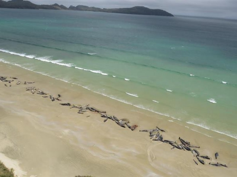 145 ballenas varadas en Nueva Zelanda
