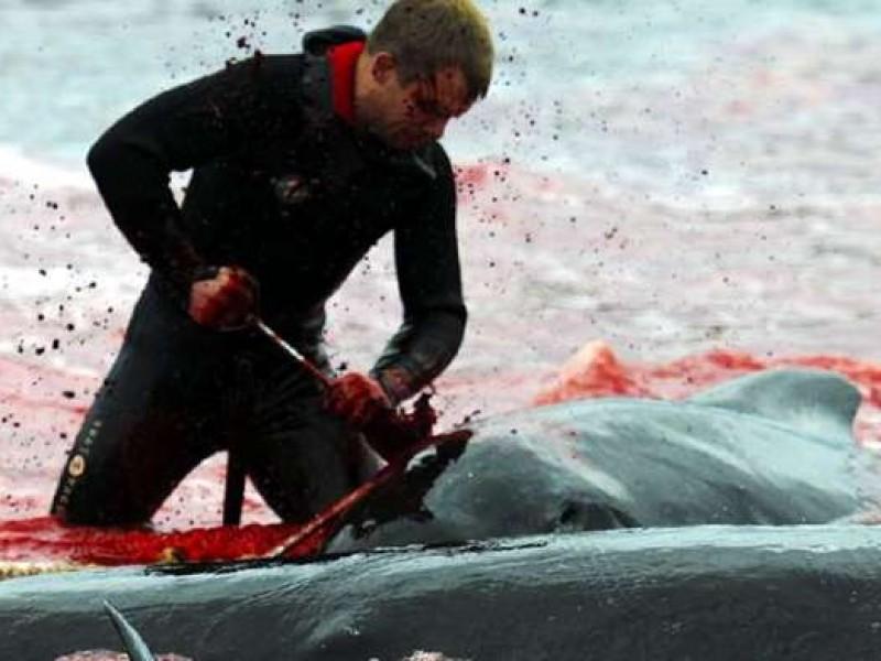180 Ballenas fueron asesinadas por tradición