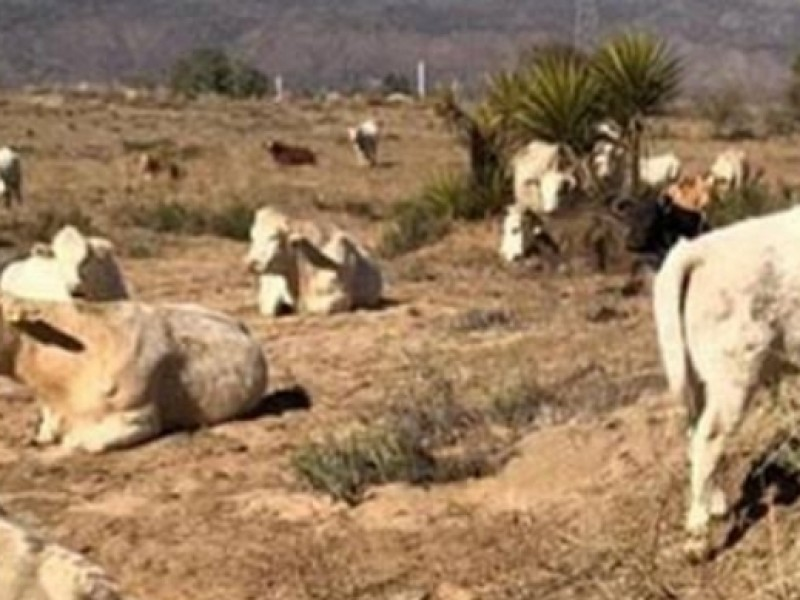 3 mil cabezas de ganado mueren por sequía