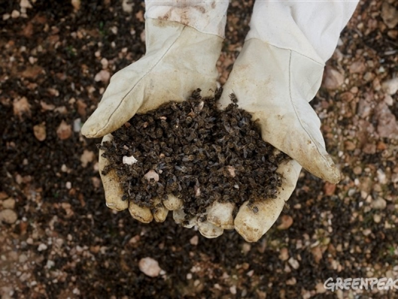 30% de colmenas perdidas por síndrome de colapso