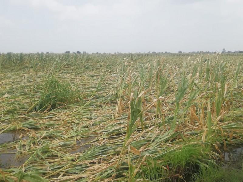 5 mil hectáreas de maíz con pérdida total en Briseñas