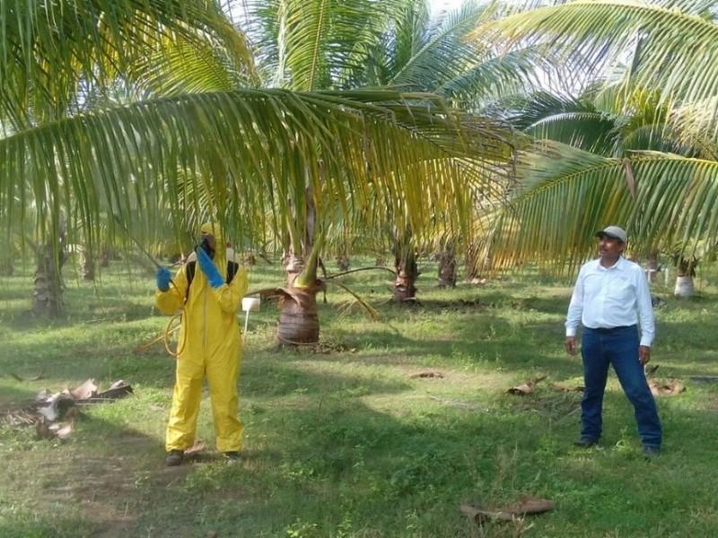 A diagnóstico más de 800 hectáreas de cocoteros