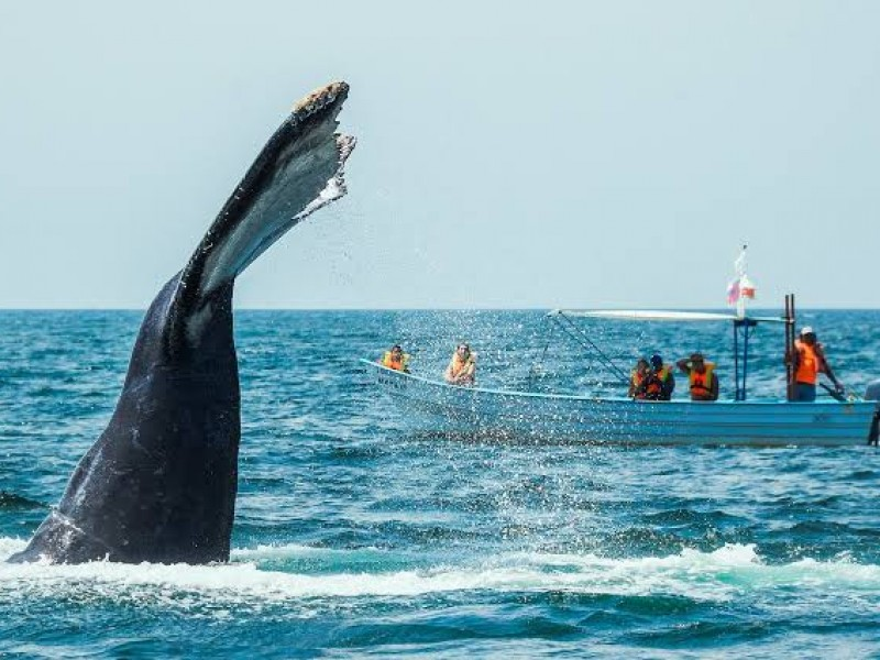 A la alza turismo por avistamiento de ballenas