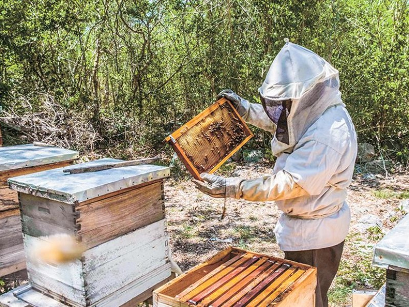 Abejas serán reubicadas por apicultores