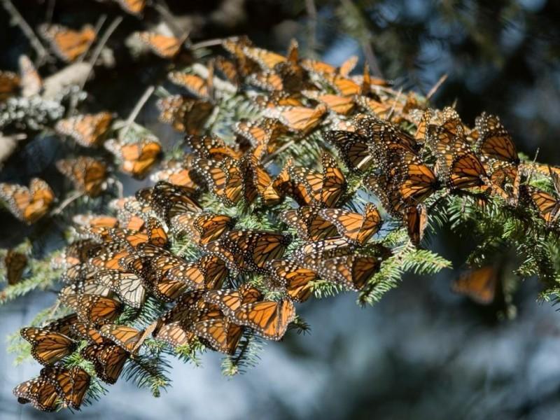 Abren los Santuarios de la Mariposa Monarca en Michoacán