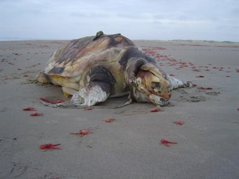 Pesca debería parar por muerte de lobos marinos y tortugas