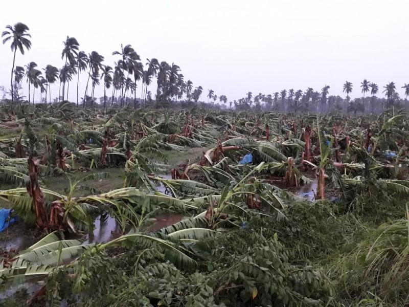 Afecta Lorena 5000 hectáreas de plátano en Jalisco