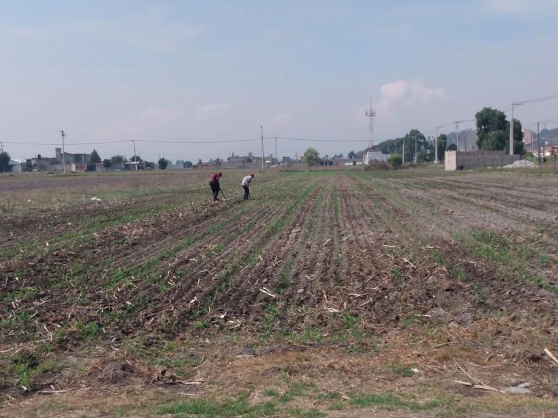 Afectaciones en campos de cultivo de Metepec por lluvias