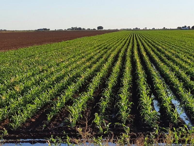 Afectan heladas cultivos en el Yaqui