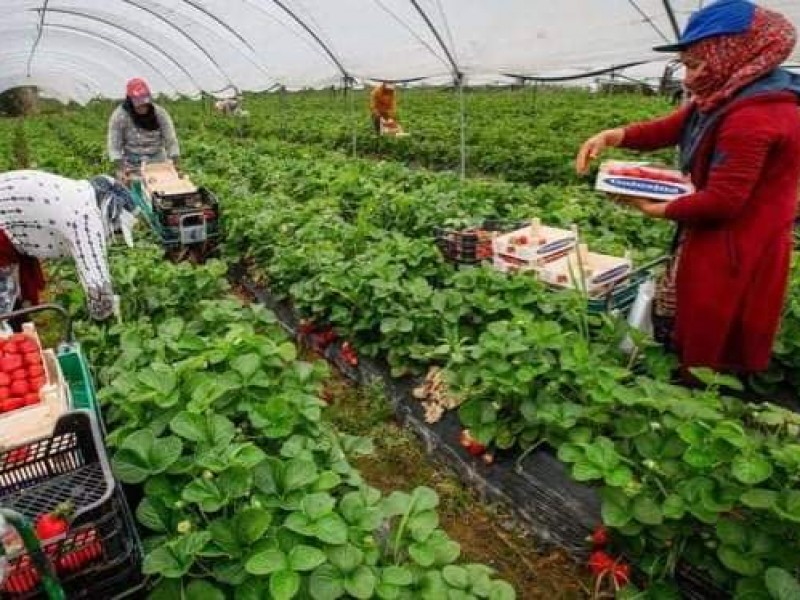 Agricultores enfrentan escasez de mano de obra en el campo