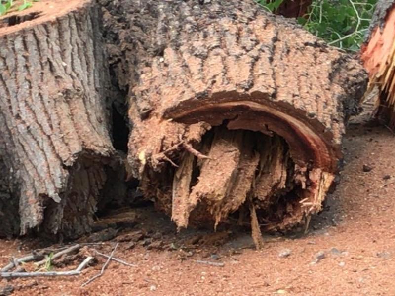 Ahome, con alta incidencia de tala de árboles