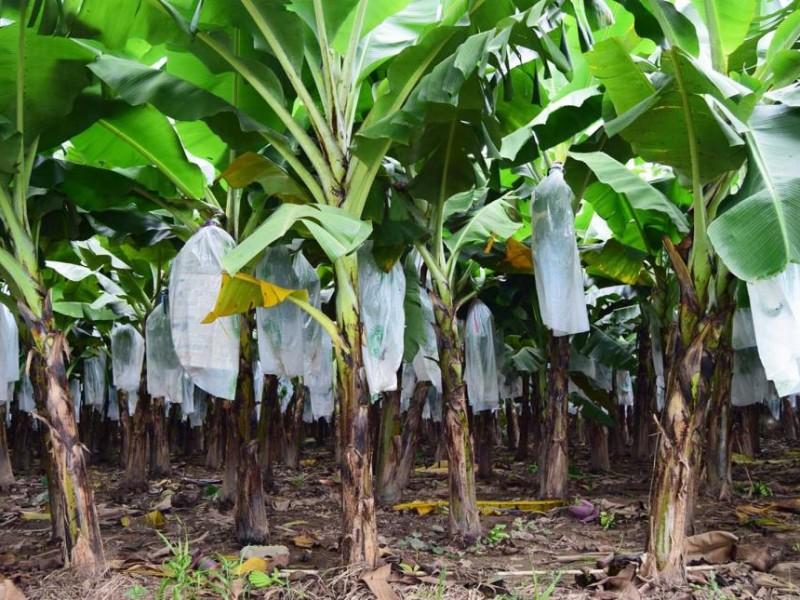 Alerta fitosanitaria por hongo; afecta plantaciones de platano