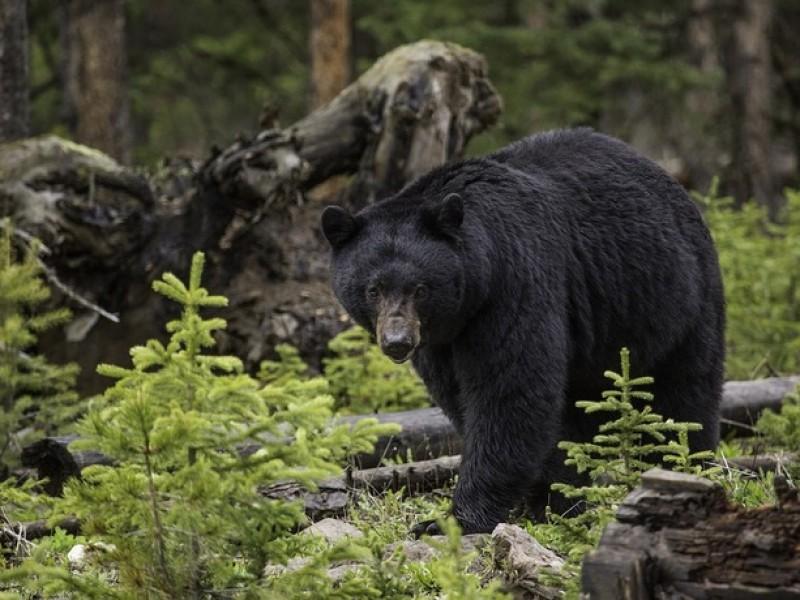Alertan avistamientos de oso negro en Coahuila