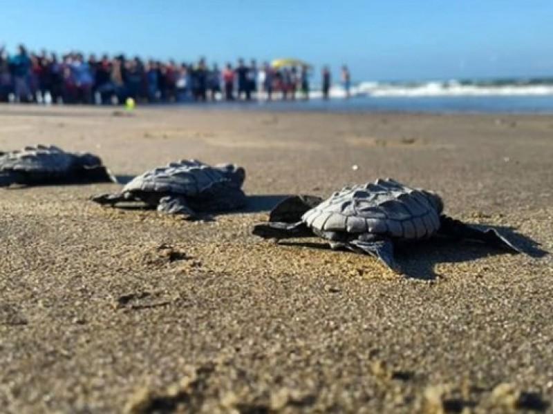 Alistan última liberación de tortugas marinas