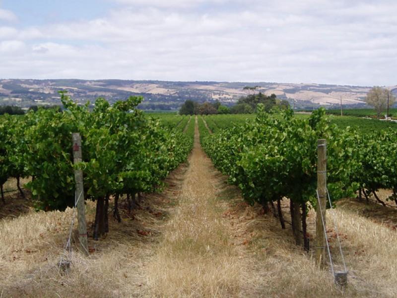 Alistan vitivinicultores protocolos para reapertura de viñedos