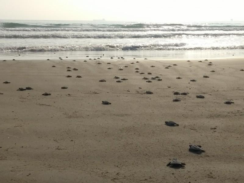 Altas temperaturas afectan el desarrollo de las tortugas