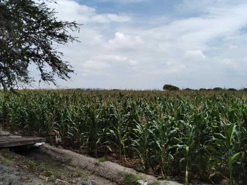 Altos precios de los insumos, impactan economía de agricultores