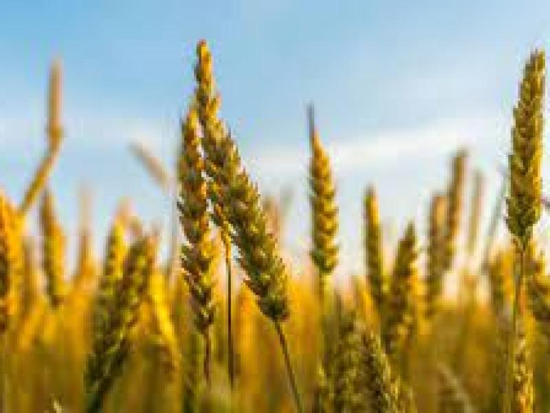 Amplían volumen de riego para el trigo en el Mayo