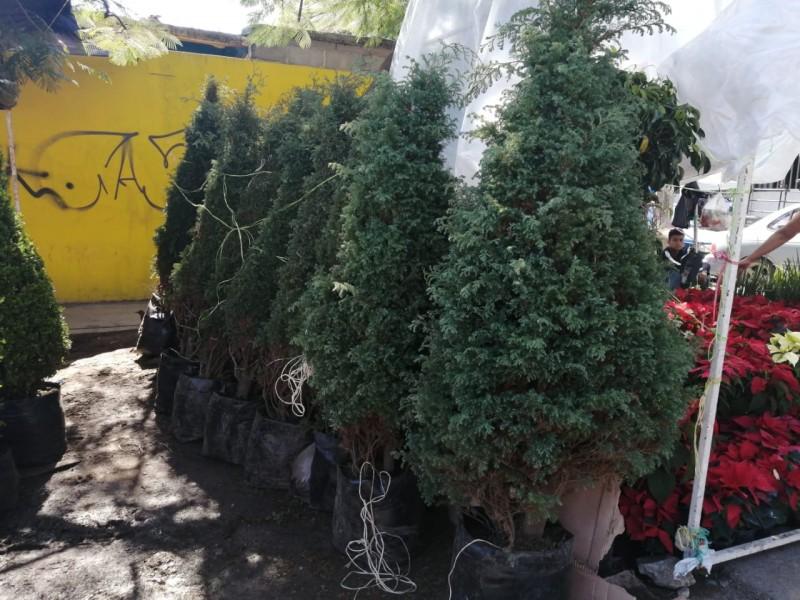 Analiza el impacto ambiental que tienen árboles de navidad