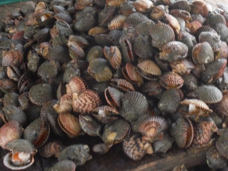 Analizan abrir período de extracción almeja catarina en Bahía Magdalena