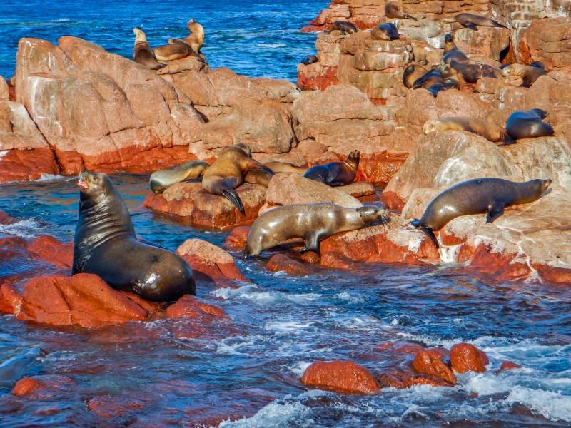 Analizan mortandad de lobos marinos por cambio climático