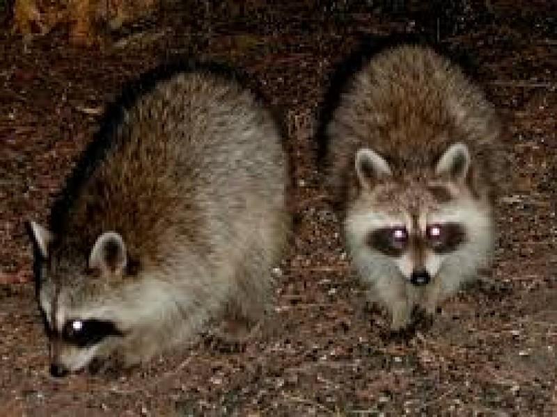Animales nativos en peligro de muerto por comer basura