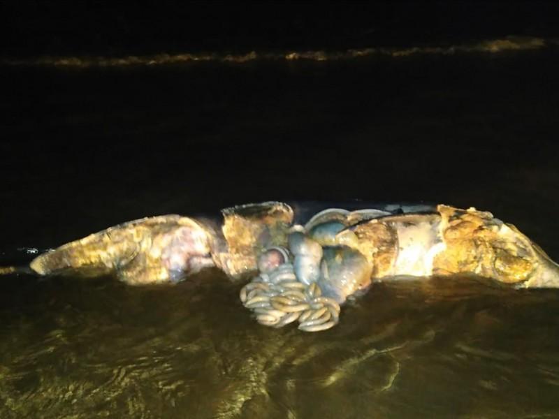 Aparece delfín en avanzado estado de descomposición