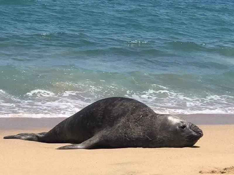Aparece elefante marino en playas de San Pancho