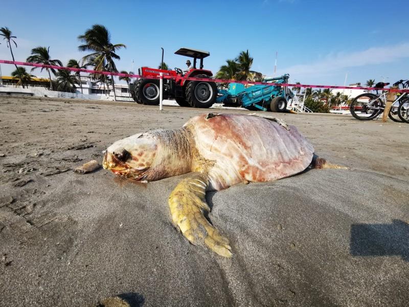 Aparece muerta tortuga en playa Martí en Veracruz
