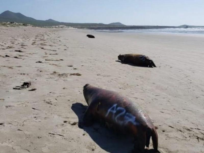 Aparecen muertos otros 25 lobos marinos en BCS