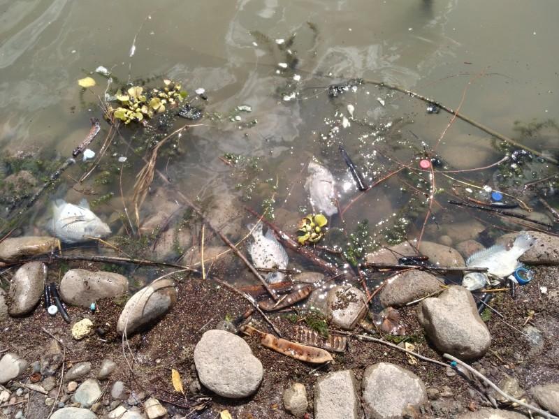Aparecían muertos los peces tilapia en la laguna del Náinar