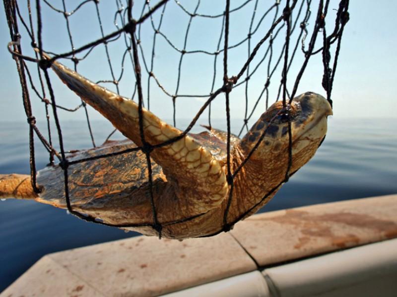 Aparte de ilegal, peligro por consumir tortuga marina para humanos