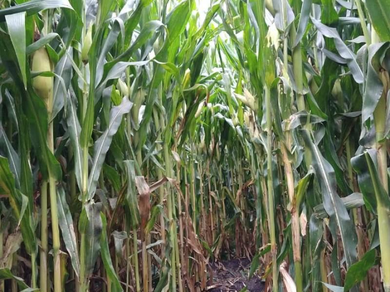 Apuestan por tecnologías de alto rendimiento en maíz