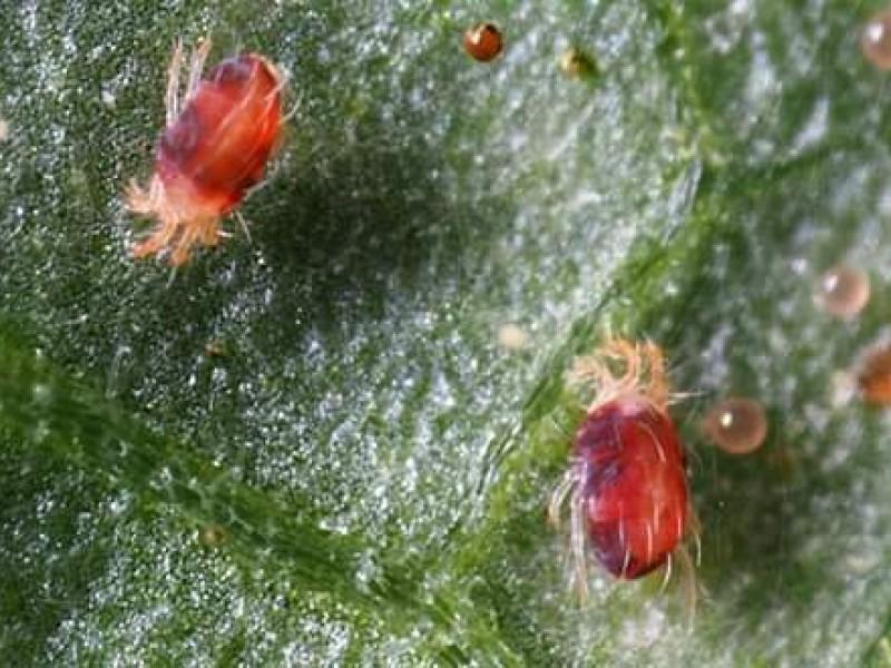 Araña roja daña cultivos de fresa en la región Zamora