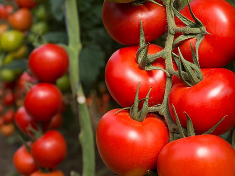 Arancel a tomate impactará a Sinaloa por 70mdd