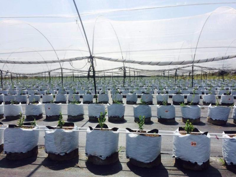 Arándano, el cultivo promesa en Sinaloa