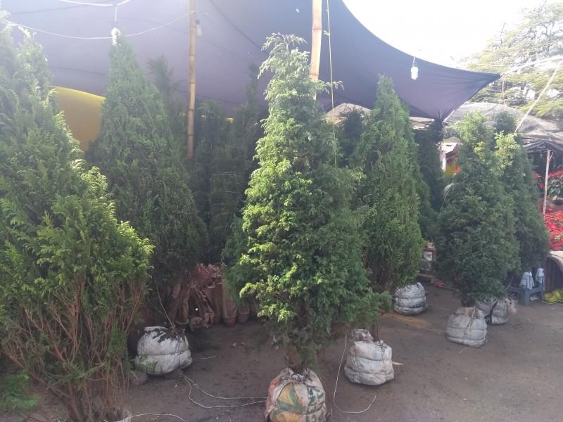 Árboles naturales buena opción para festividades
