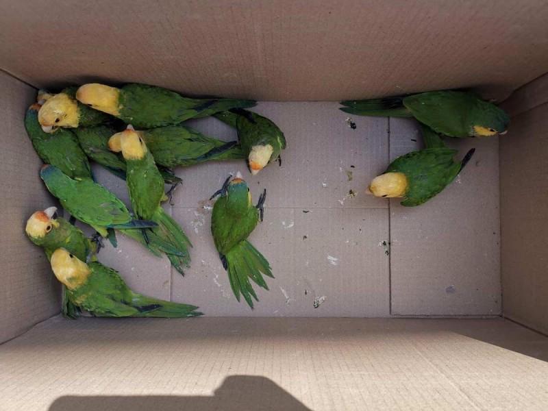 Aseguran 45 pericos atoleros; les cortaron las alas