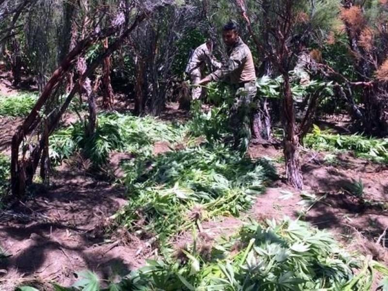Aseguran 80 mil metros de marihuana