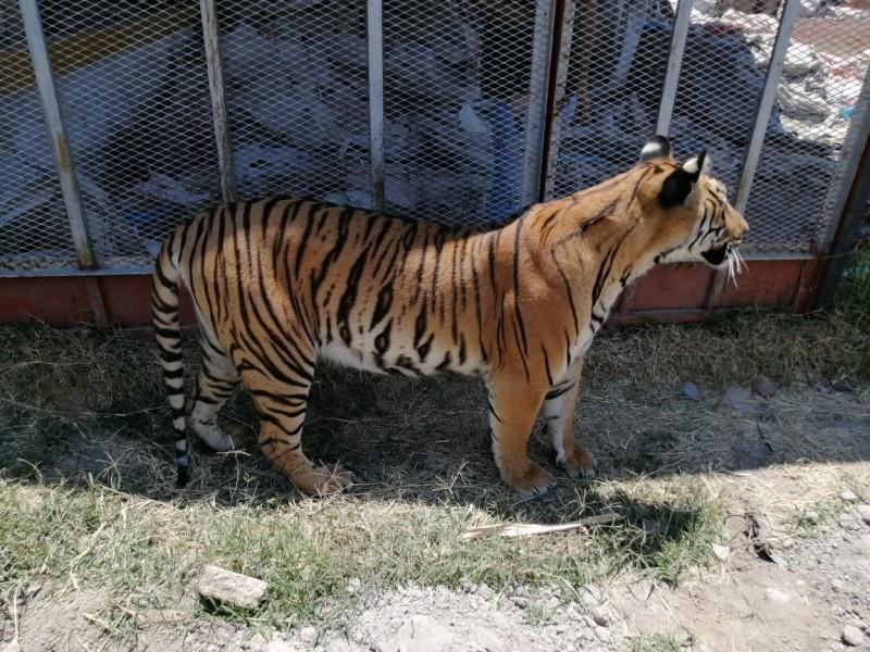 Aseguran tigre que se paseaba en la Guadalupana