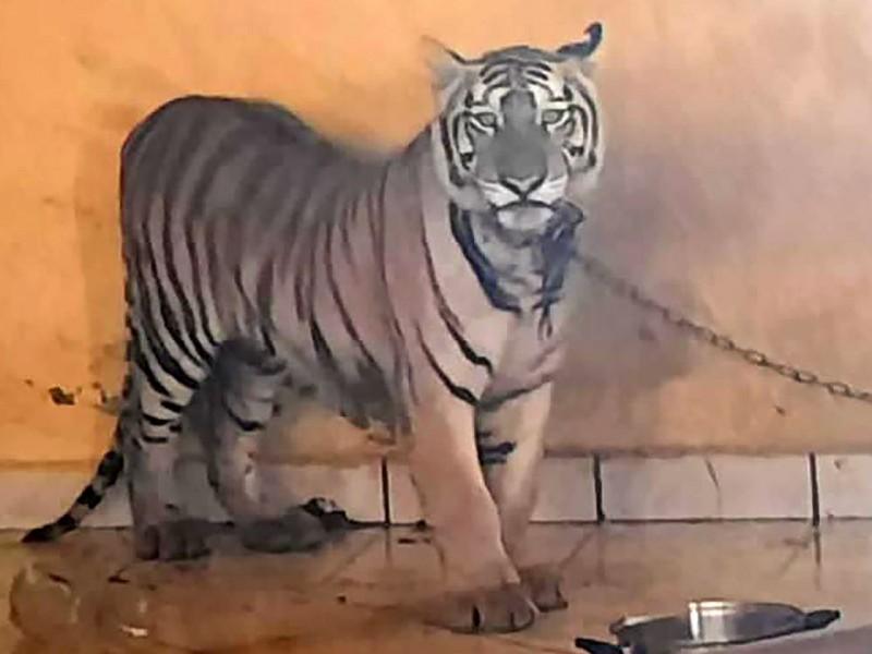 Aseguran tigresa de bengala en cateo