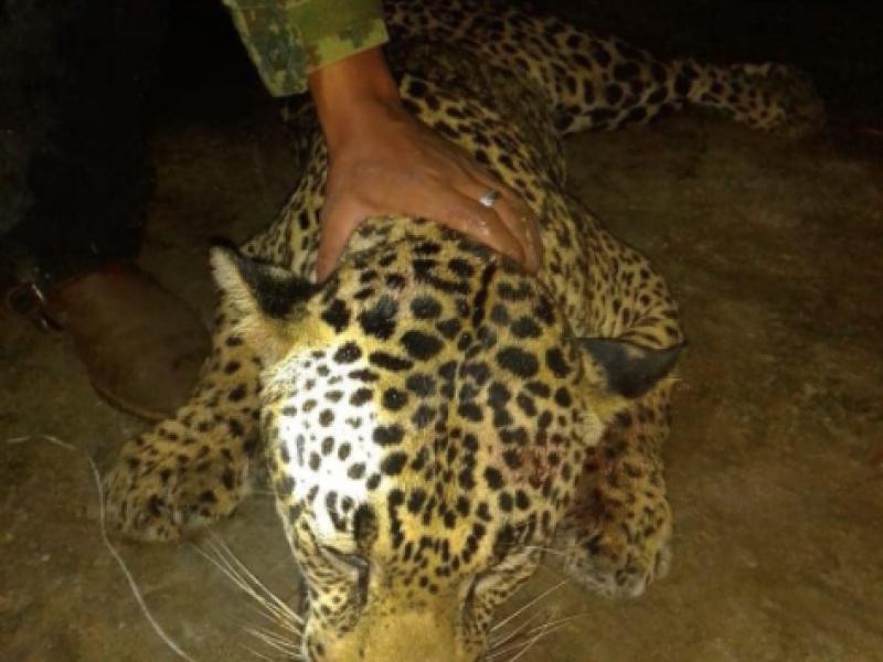 Asesinan a jaguar en el municipio Del Nayar