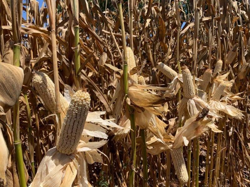 Así los precios de liquidación del maíz de Sinaloa
