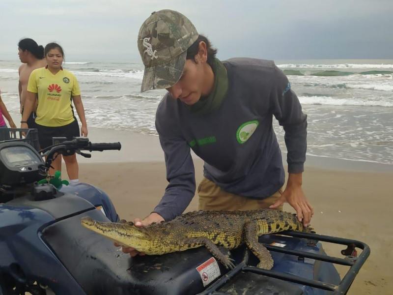 Atípico avistamiento de cocodrilo en playas de Tuxpan