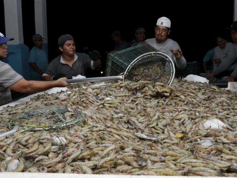 Aumenta diariamente el promedio de capturas de camarón