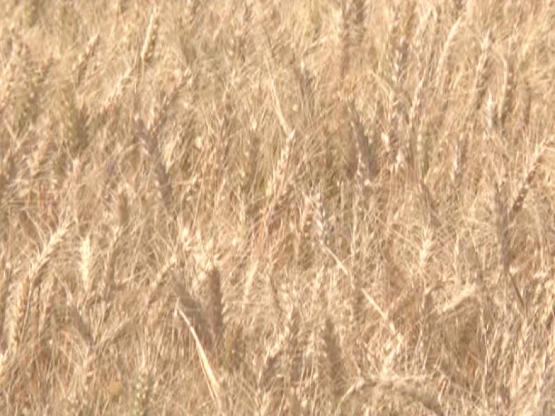 Aumenta en un 4.8% el precio del trigo