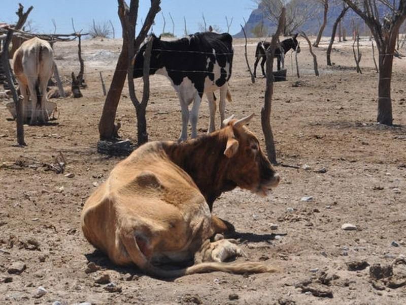 Aumenta mortandad de ganado tras ausencia de lluvias