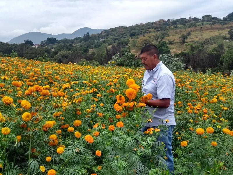 Aumenta producción de cempasúchil en Santiago Tangamandapio.