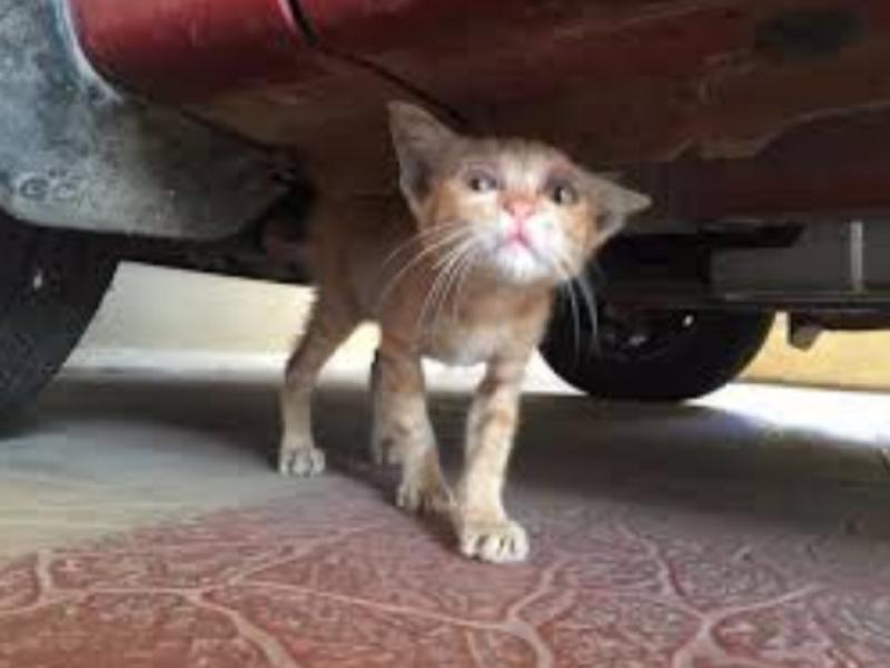 Aumentan gatos en abandono,dueños no esterilizan:Protectoras Animalistas